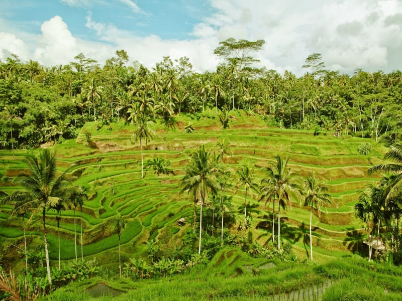 green rice paddies in indonesia