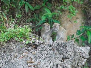 macaques in thailand