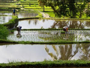 local workers in rice paddies indonesia