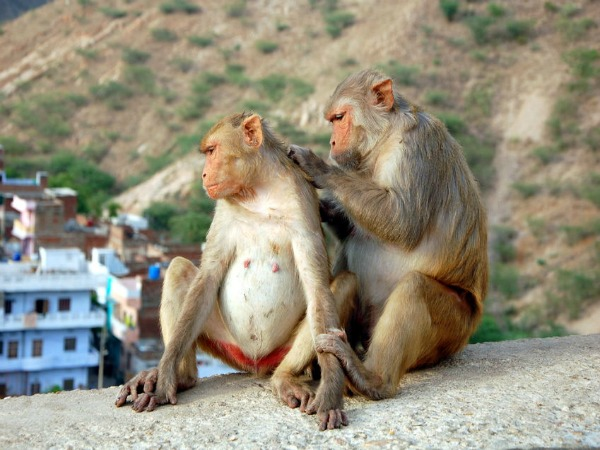Monkeys grooming on wall India