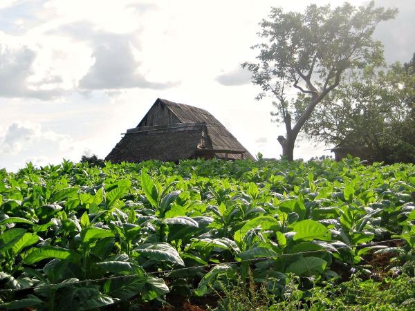 green tobacco field in cuba