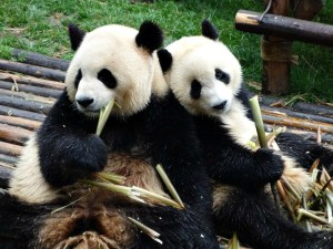 Two panda bears eating bamboo shoots in china