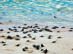baby turtles being released in