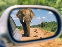 elephant in car mirror in south africa