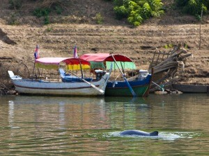 dolphin swimming by boats in cambodia