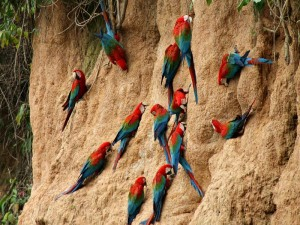 colorful parrots on wall in amazon jungle in peru