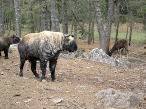 Bhutan national animal the Takin standing in a forest