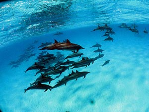 Underwater shot of a pod of dolphins in Brazil