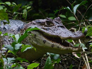 Caiman Alligator hunting through the forest floor river bank in Tortguero