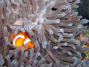 Fish peeking out of the coral in Indonesia