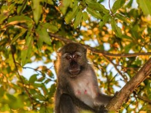 Macaque monkey sitting in a tree in Malaysia