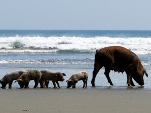 Pigs on the beach in Nicaragua