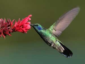 Humming Bird next to Pink Flower in Boquete