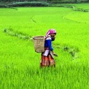Local woman carrying a basket and walking through the rice paddies in Vietnam