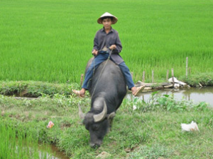 man sitting on water buffalo in vietnam