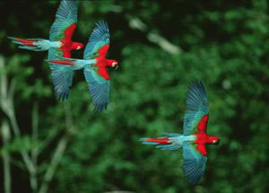 Bolivia colorful parrots flying in jungle