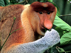 Borneo proboscis monkey in trees