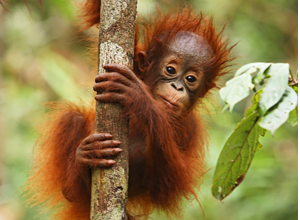 Borneo baby orangutan in tree