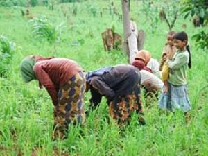 Local people in Banlung, Cambodia harvesting the rice