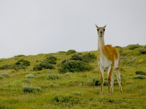 Guanaco in a field