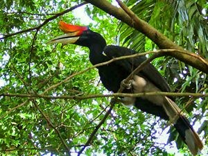 Bright coloured birds in Taman Negara