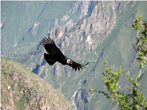 Condor flying in Peru