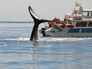 Whale diving next to a boat