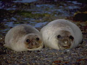 Two seals lying on the beach