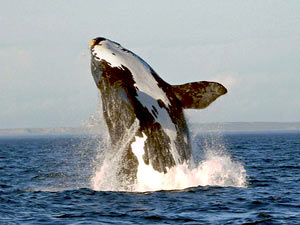 whale leaping out of sea in Argentina