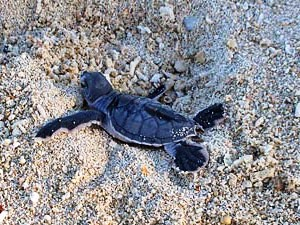 Baby sea turtle on the beach in Borneo