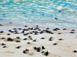 turtles running from beach to sea