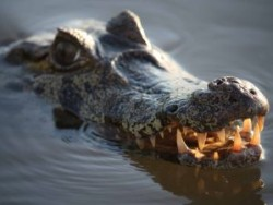 Canoes and Caimans in the Amazon