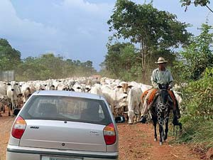 Driving into the southern pantanal of Brazil, past a cowboy and his herd