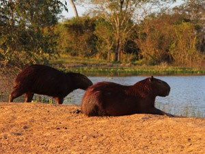 Two capybaras beside a lake in the north pantanal in Brazil