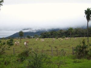Cows in the mist on the drive into the Brazilian pantanal