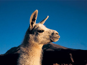 Close up of a llama, related to the guanaco in Chile
