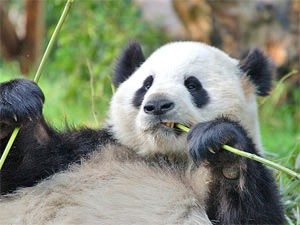 Panda chewing on bamboo