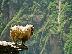 Goat on a rock