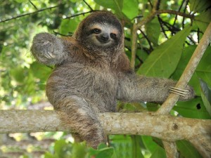 Sloth sitting in a tree in Costa Rica
