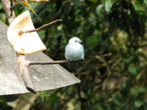 Small white bird resting on a thin branch in La Fortuna Arenal forest