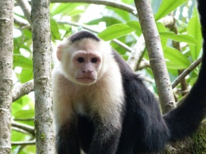 White faced, black bodied fluffy monkey sitting on a tree branch on KSTR tour