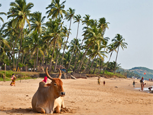 Cow lying snoozing on the beach in Goa India