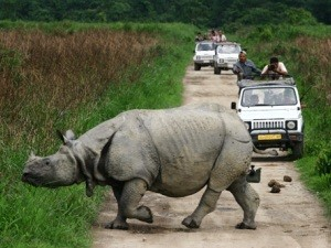 India: Rhinos and Tea Leaves