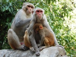 Family of wild monkeys in India