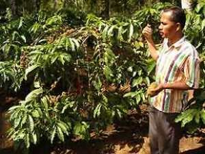 Local man describing the coffee plantation
