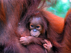 orangutan baby and mother