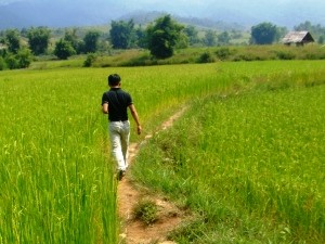 rice paddies of Phonsovan, Laos