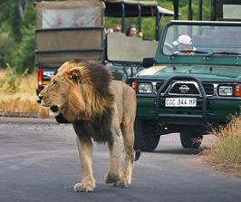 lion and safari jeeps in south africa
