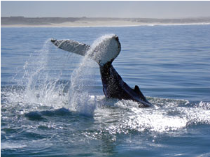 whale breaching in the sea in South Africa