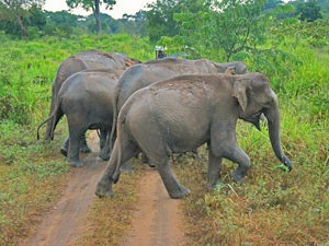 Herd of elephants crossing dirt track in Sri Lanka